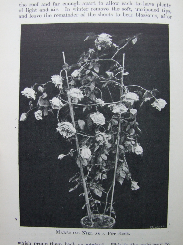 Roses and Their Cultivation 1904