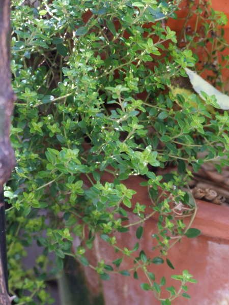 Thyme 'Anderson's Gold'