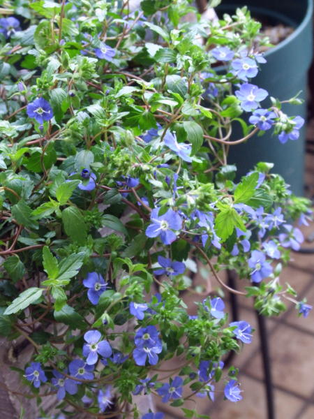 Veronica'Oxford Blue'